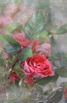 2014_rosenrot