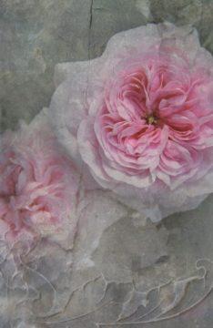 204_rose