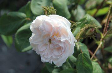 White-Moss