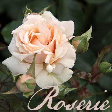 Rosen (Okt-Mrz)